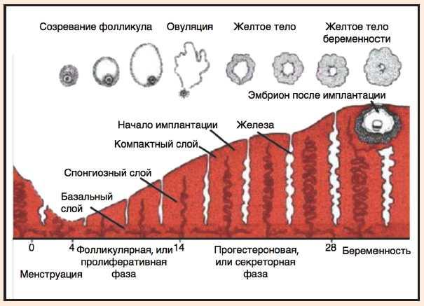 Размер фолликула по дням цикла и цели проведения исследования