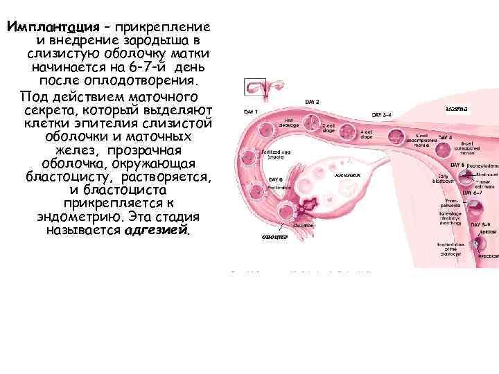 Имплантация эмбриона (25 фото): признаки имплантации в матку плодного яйца, симптомы позднего и раннего прикрепления, базальная температура и ощущения