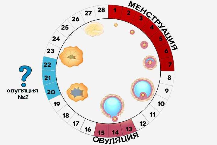 На какой день после месячных наступает овуляция? день овуляции – когда он происходит? через сколько дней начинаются месячные – как это узнать? может ли она быть сразу после месячных и что овуляция означает?