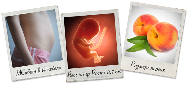14 неделя беременности: что происходит – календарь