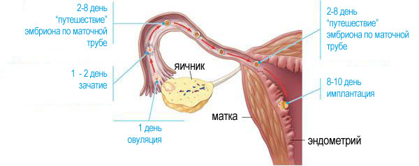 Ранняя имплантация эмбриона: сроки, причины и последствия