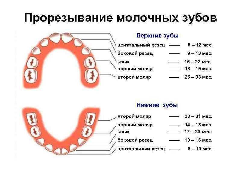 Сколько молочных зубов у человека и в какой последовательности они прорезываются?