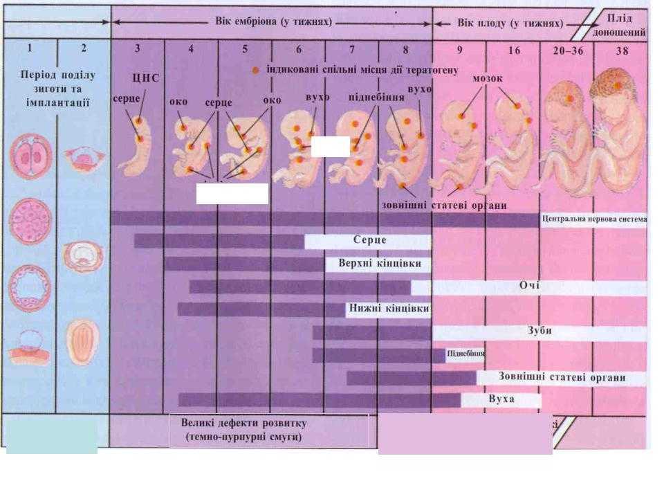 Развитие эмбрионов после переноса в матку по дням. что происходит