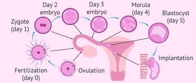 Имплантация эмбрионов после переноса при эко