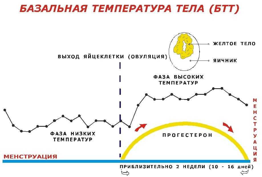 Базальная температура при беременности на ранних сроках до задержки месячных