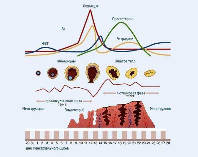 Фолликулы в яичниках: количество, норма и отклонение