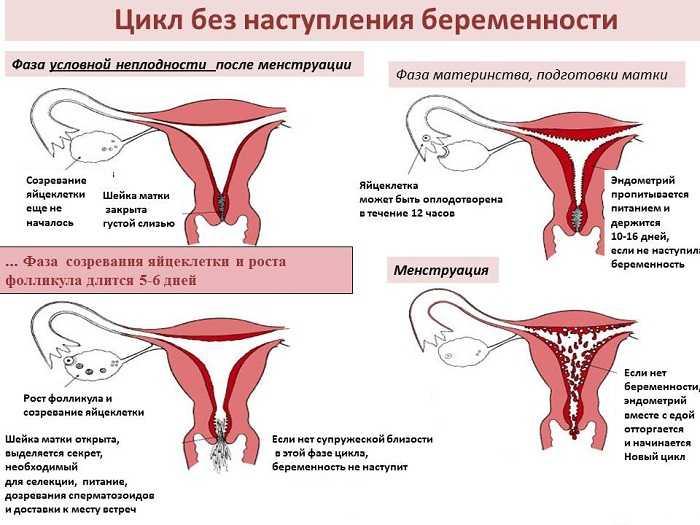 Почему нет овуляции у женщин: причины и лечение