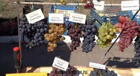Виноград при грудном вскармливании | грудное вскармливание vseogv.ru | яндекс дзен