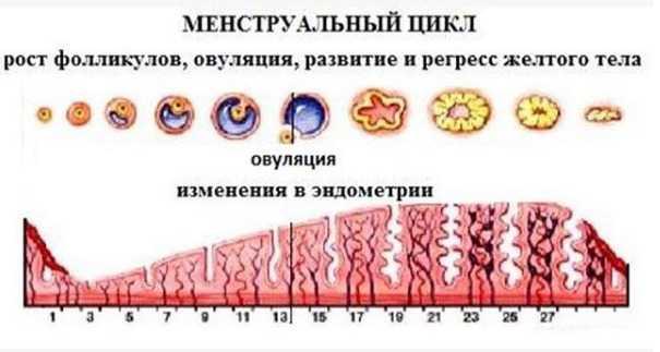 Доминантный фолликул и желтое тело: фолликулогенез, размеры на узи после овуляции, виды строения и нарушения в развитии, зачатие