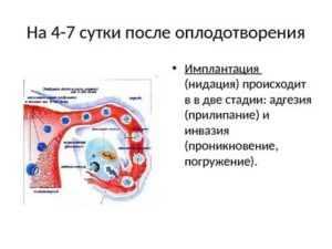 Как и когда происходит имплантация эмбриона в протоколах эко