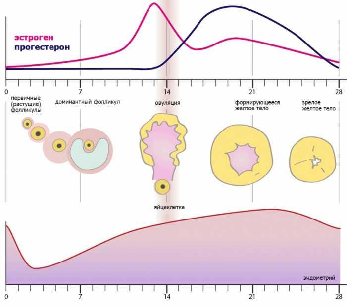 Количество фолликулов в яичниках по периодам цикла