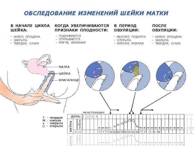 Менструальные циклы, месячные и овуляция – clearblue