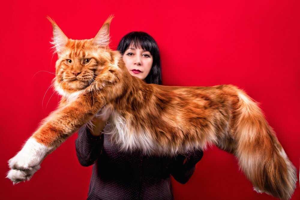 Болезни мейн-кунов, связанные с наследственностью, и общие патологии кошачьих