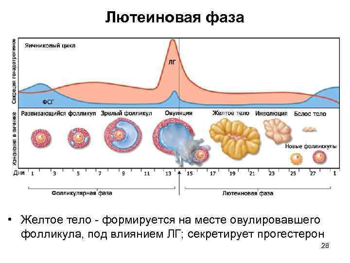 Размер фолликула при овуляции: норма для зачатия и не только!