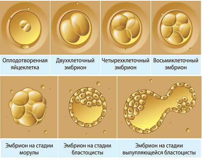 Имплантация эмбриона после эко: признаки, сроки, ощущения