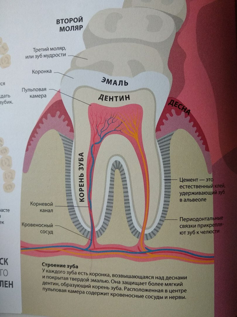 Психосоматика зубов и десен, причина зубной боли и пути исцеления