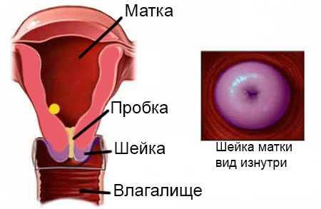 Шейка матки фото при беременности фото imother.su- все для будущей мамы