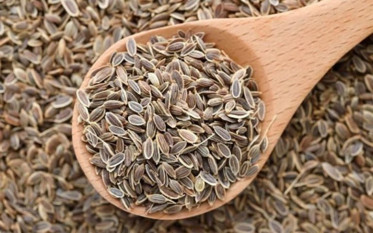 Семена укропа: польза и вред, лечебные свойства, противопоказания, отзывы