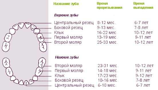 Сколько молочных зубов у ребёнка и когда они должны вырасти