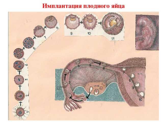 На какой день прикрепляется эмбрион после переноса: имплантация после криопереноса 5х дневок
