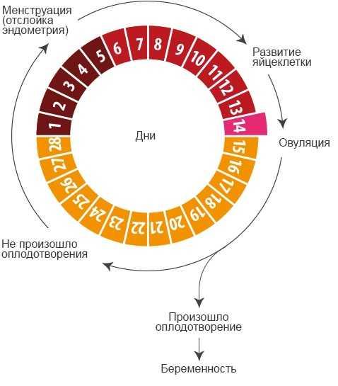 Когда созревает яйцеклетка после месячных: сроки овуляции