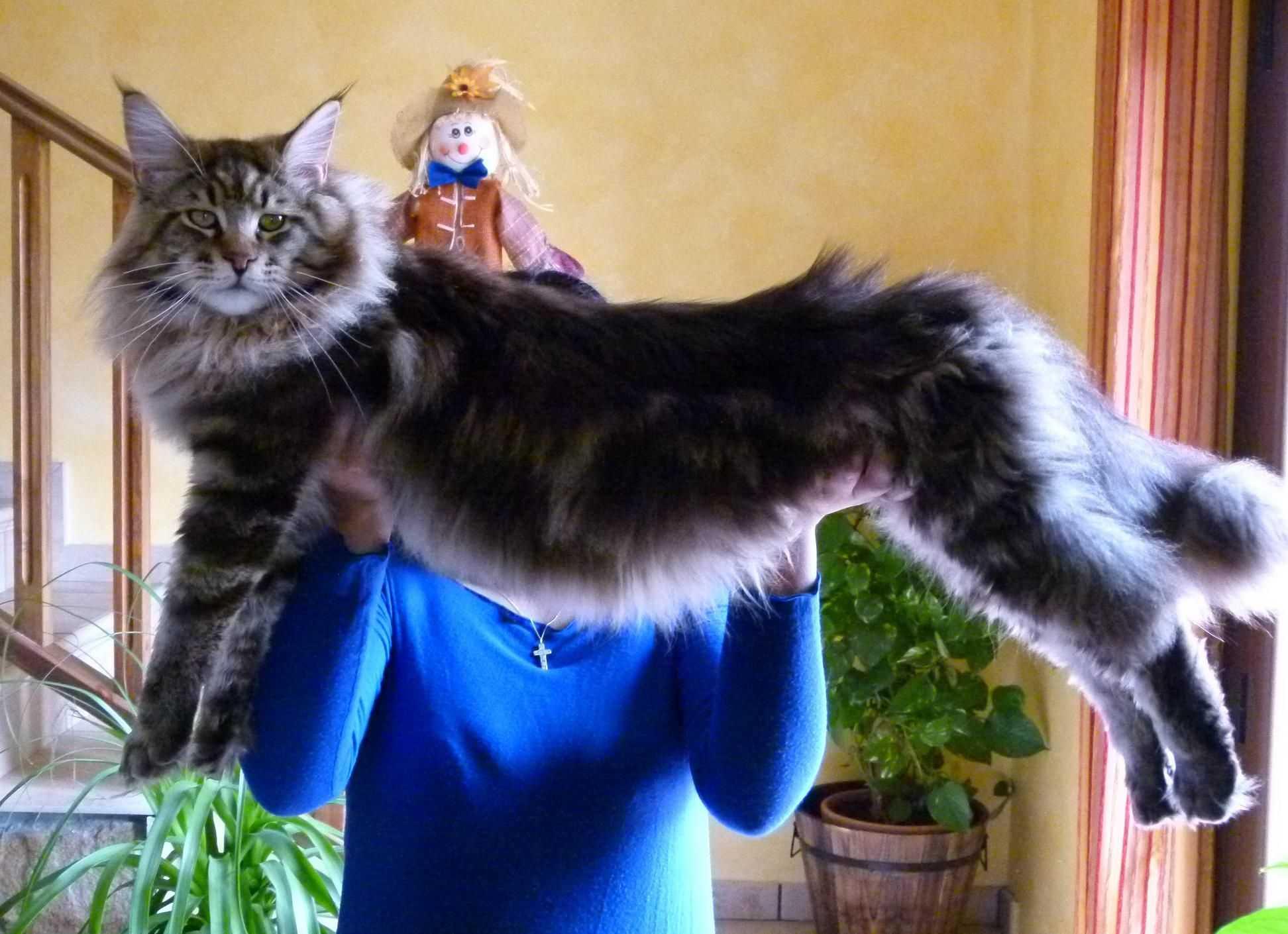 Лечение кошками: что такое фелинотерапия, лечение, подходит ли порода мейн-кун