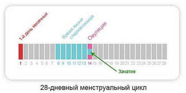 Сколько длится овуляция - способы рассчитать в зависимости от продолжительности менструального цикла